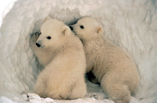 polar-bear-cubs
